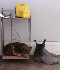 Kelpie and boots Mans Best Friend, Girls Best Friend, Cute N Country, Country Life, Dog Life, Farm Life, Working Dogs, Animal Photography, Dolphins