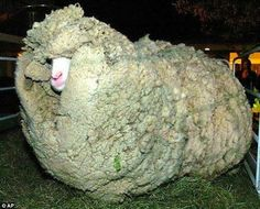 Shrek the sheep ran away and hid in a cave in New Zealand for 6 years. When Shrek was finally found in 2004, the sheep had gone unsheared for so long that it had accumulated 60 pounds of wool on its body, enough to make 20 suits! The sheep became famous and even got to meet the Prime Minister. Shrek finally passed away 2 years back at the age of 16.