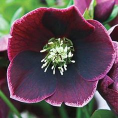 """Aubergine Dream Helleborus  Blooms late winter to mid spring  full to partial shade  15""""  ~T"""