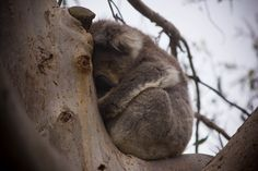 Do the Kennet River Koala Walk and get up close and personal with koalas in their natural habitat Habitats, Ocean, River, Natural, Animals, Koalas, Animales, Animaux, Sea
