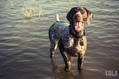 lola-gsp-standing-in-water