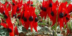 Snapshots & Images of Australian Flora: Sturt's Desert Pea - State Floral Emblem of South Australia Historical Concepts, Strange Flowers, Pea Flower, Alice Springs, Ground Cover Plants, Native Plants, Big And Beautiful, Botanical Gardens, Garden Plants