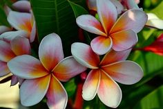My Favorite Plumeria!!!! Tropicalflowers-and-plants.com