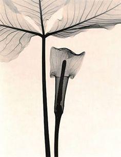 X-Ray Calla Lily