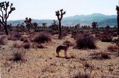 coyote in joshua tree, ca Joshua Tree National Park, National Parks, Desert Aesthetic, Nature Aesthetic, Sugarhigh Lovestoned, Desert Dream, Desert Days, Desert Rose, Grain Of Sand