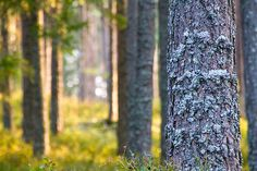 Pine in Sweden