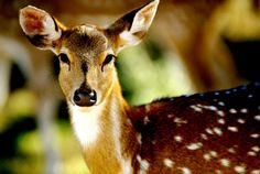 Deer medicine teaches us to use the power of gentleness to touch the hearts and minds of wounded beings who are trying to keep us at bay. Deer has the gentleness of spirit that heals all wounds. ***Remainder at website...