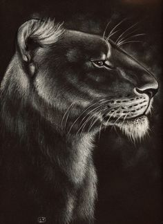 Lioness drawing ,conte on black paper