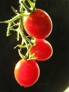 https://flic.kr/p/rbDhV | Last Tomatoes