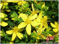 John's Wort - 1000 Seeds Outsidepride is a family owned U. No other company on this listing is selling our seed. USDA Zones: 4 - 8 Height: 24 inch perennial Bloom Color: Yellow Sowing Rate: 3 - 4 seeds per plant Planting Bulbs, Planting Seeds, Planting Flowers, Flowering Plants, St Johns Wort Plant, Stachys Byzantina, Deer Resistant Plants, Home Garden Plants, Herb Seeds