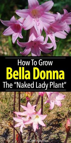 Correct Belladonna plant care grows bulbs of delightful bell-shaped fragrant flowers, glowing Correct Belladonna plant care grows bulbs of delightful bell-shaped fragrant flowers, glowing & glittering brightly - Amaryllis Belladonna Lily [LEARN MORE] Garden Bulbs, Planting Bulbs, Garden Plants, Planting Flowers, Balcony Gardening, Fruit Garden, House Plants, Rare Flowers, Bulb Flowers