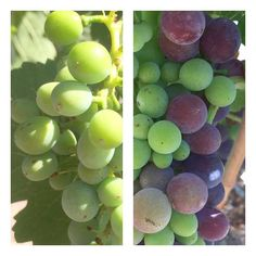 Week 11: The Syrah cluster we have been following is on the left, and a different Syrah cluster (located on a separate block of the vineyard) is on the right. The purple color you see on the right is due to veraison, or the onset of ripening and changing of skin color. The cluster we have been following should reach veraison within the next couple of weeks. Exciting changes are happening in the vineyard! #beckmensyrah2015