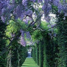 Wisteria walkway heaven  #wisteria #bloom #classic #classichomes #classicgardens #theclassicoutfitter