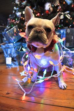I am contemplating purchasing a frenchie for my husband  for the holiday... He will be all black and named Chunk.
