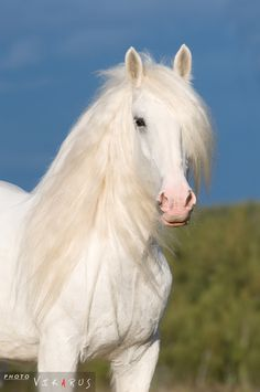 Gorgeous White Friesian. White is coming back with this breed. In the days of the Knights, they rode these magnificent horses. And this horse did range in other colors like Bays & even Dappled Grays or maybe just the mixture of Whitish-Gray.