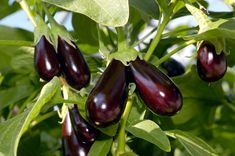 Баклажаны: выращивание и уход в открытом грунте