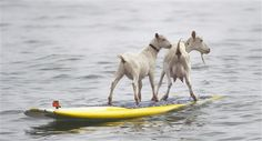 [写真] サーフィンするヤギ、人々の注目を浴びる(AP) - エキサイトニュース