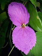 Dalechampia dioscoreifolia 'Bow Tie Vine'