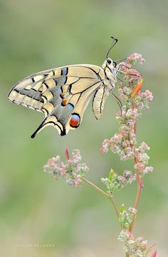 Papillon <3 ****