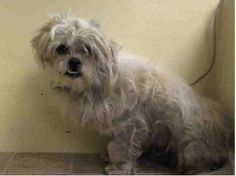 TO BE DESTROYED 4/21/14 Manhattan Center   My name is OSO. My Animal ID # is A0996745. I am a male white shih tzu mix. The shelter thinks I am about 5 YEARS old.  I came in the shelter as a STRAY on 04/15/2014 from NY 10458, owner surrender reason stated was STRAY.