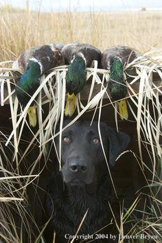 """Black labrador retriever in blind with bagged mallards."" ---- [Photographer Denver Bryon - 2004]'h4d'121204"