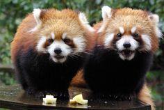スミレ、マリン Red pandas レッサーパンダ 小熊猫