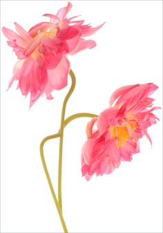 Two Pink Lotus Flowers  - DD0A8643-1-1000 | by Bahman Farzad