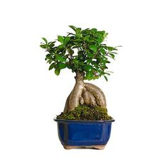 Small Gensing Grafted Ficus Bonsai Trees for sale