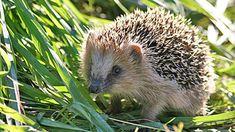 l'écureuil, le hérisson, la taupe, la musaraigne et la chauve-souris :: Les amis jardiniers de Praz sur Arly
