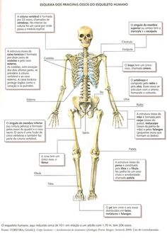 Ossos do corpo humano Medicine Student, Medical Anatomy, Human Anatomy And Physiology, Human Reference, College Classes, Nursing Tips, Med Student, Med School, Study Notes