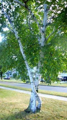 birch tree | Birch Tree, Facts & Information on Birch Trees