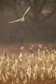 barn owl in flight. beautiful lighting