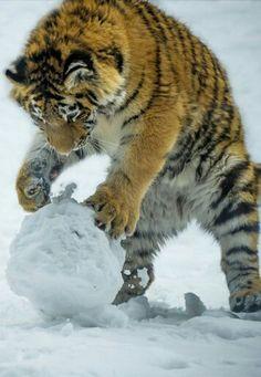 Tigers snowball....