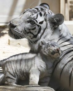 A 7-year-old white tiger sits with one of her cubs at Tobu Zoo in Miyashiro, near Tokyo.