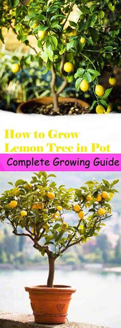 Tangy and sour, lemon adds flavor in every cuisine. Learn how to grow a lemon tree in a pot. Growing lemon tree is easy if you follow the requirements given below.