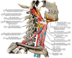 МЫШЕЧНАЯ СИСТЕМА Gross Anatomy, Human Body Anatomy, Human Anatomy And Physiology, Neck Muscle Anatomy, Skeleton Muscles, Physical Therapy School, Anatomy Images, Biology Lessons, Muscular System