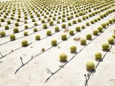 The Cacti Field