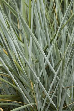 Blue Dune Lyme Grass' striking silver blue foliage is a standout in any landscape. An excellent groundcover and effective when combined with purple flowers or maroon foliage. Spreads vigorously by rhizomes, filling in large areas quickly. Deciduous. Zone 4-9