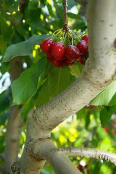 I love cherry trees! Growing Cherry Trees, Mini Farm, Exotic Fruit, Red Fruit, Love Garden, Picnic Time, Sweet Cherries, Fruit Garden, Fruit Trees