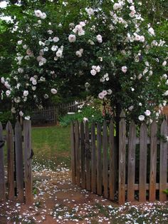 New Dawn: The Best Climbing Rose In The World? from Modern Country Style blog: