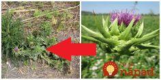 Túto rastlinu väčšina z nás pozná pod menom bodliak. Jeho pravé meno jePestrec mariánsky - rastlina, ktorej liečivé účinky sú známe už stovky rokov. Ak si preto myslíte, že na záhrade v trávniku vám vyrástla