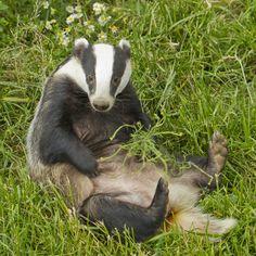 badger European | Wilderness' Hare greeting card - Peoples Trust for Endangered Species