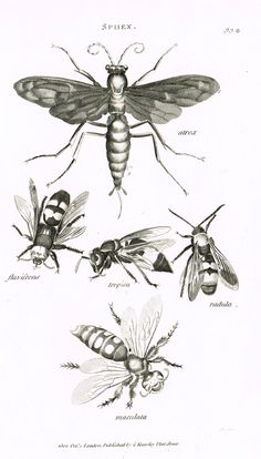 """Shaw's General Zoology - (Insects) - """"FOUR WASPS (SPHEX)"""" - Copper Engraving - 1805"""