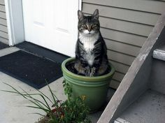 TIP: No Space for a Garden? Try Kittens in Planters  Everyone loves having fresh, naturally grown kittens on hand, but not everyone has space for a full garden or raised beds.  One way to grow cats when space is tight is container gardening.  You can grow full-size, all natural kittens in your front porch, stoop or fire escape using large planters or pots.  Water regularly, sprinkle with plenty of tuna flakes, and in 6-8 weeks, you'll have a fully grown cat.  Via for_caer.