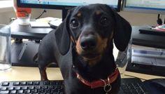 Meet Peggy – Our Digital Dachshund #OfficeDog #Dachshund