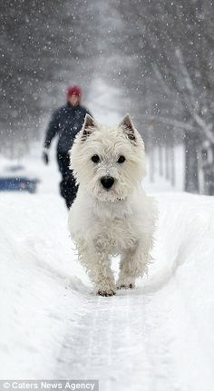 Amberlee Fay walks with her West Highland Terrier, Siggy, in the deep snow in Lexington. She said Siggy normally doesn't like snow but since he found a path, from car tracks, he was having fun