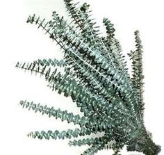 pittosporum tom thumb arbuste arbustes pinterest arbuste. Black Bedroom Furniture Sets. Home Design Ideas