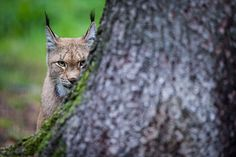 Credit: David Ebener/AFP/Getty Images An Eurasian lynx is pictured in its enclosure at the Hundshaupten deer park in Hundshaupten, southern Germany. In the wild, the Eurasian lynx can be found in European and Siberian forests as well as in south and east Asia