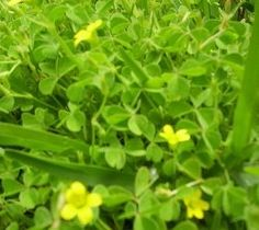 Wood sorrel is one of my favorite edible wild plants. It's lemony taste is a great addition to a morning salad. Wood sorrel is found all over the Los Angeles area. If you keep your eyes open you're bound to encounter it.