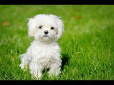 Características del French Poodle  - TvAgro por Juan Gonzalo Angel